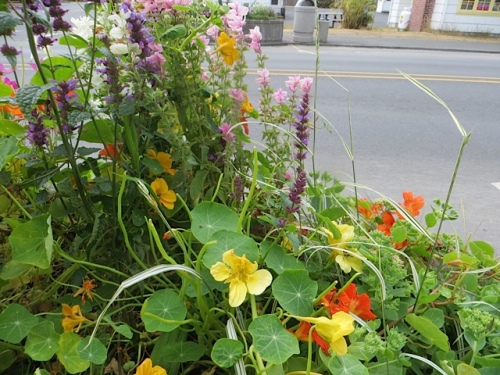 On the deer trail, Seventh South, planter nasturtiums are getting nibbled.