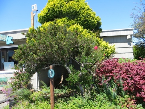 trimmed back the ceanothus so it no longer pokes into the parking spot