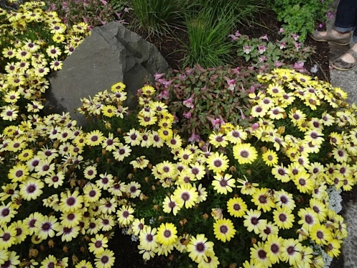 Osteospermum (African Daisy); this annual's only flaw is that it needs a lot of deadheading.