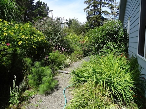 Looking north down the path.  That ever increasing volunteer patch of montbretia has got to go.
