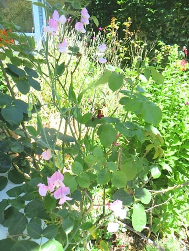 thrilled that I got sweet peas to climb the Joseph's Coat roses