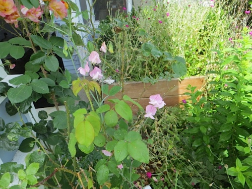 oh, yay...have successfully grown sweet peas up my mom's Climbing Joseph's Coat roses.