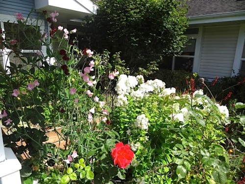 sweet peas by the courtyard entrance, climbing through roses, with white phlox