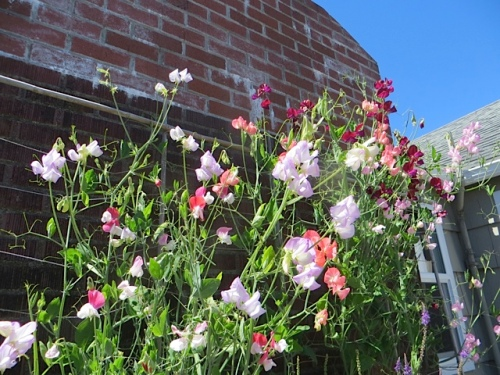 successful sweet peas in the office courtyard