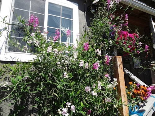 perennial sweet peas by the steps to the porch