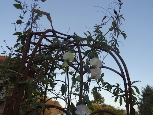 sweet pea success, almost to the top of the arbor