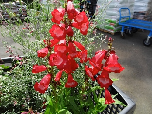 I picked out this penstemon, and then could not deal with its bright redness
