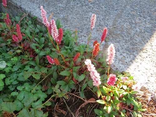 Persicaria 'Dimity'; I forgot to get myself some starts of this last year.