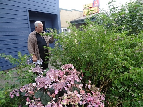 Nancy's spouse, Phil, admires a hardy fuchsia.