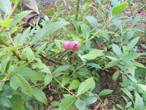 Vaccinium 'Pink Lemonade' blueberry