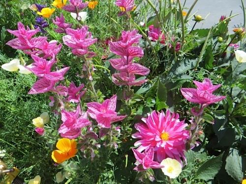 pink dahlia, pink painted sage