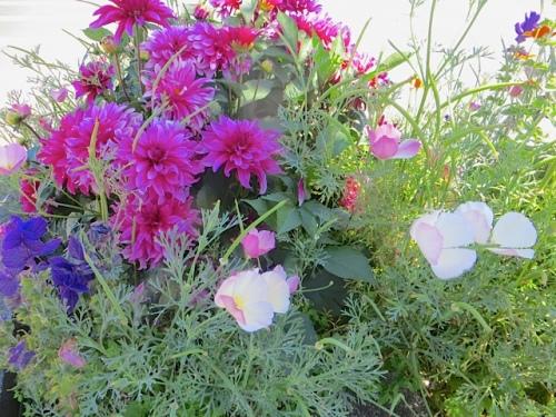 pink dahlia, pale pink California poppy