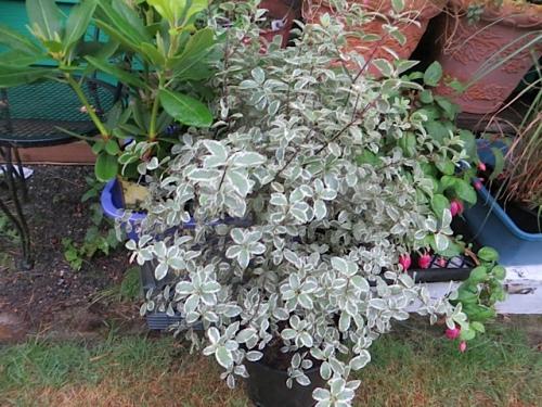 variegated pittosporum