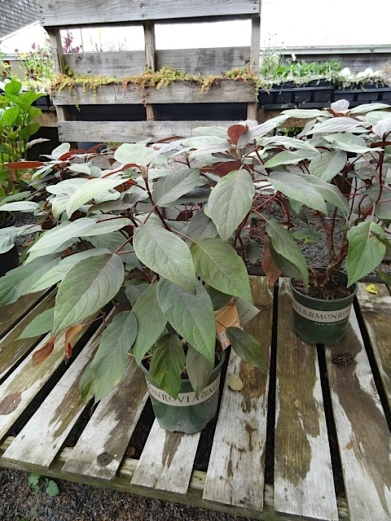 I did buy a Hydrangea aspera 'Plum Passion', as I've coveted the one in Steve and John's garden.
