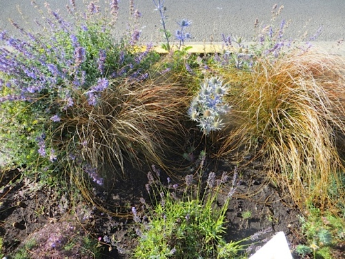 Port Office curbside garden with Eryngium 'Sapphire Blue'