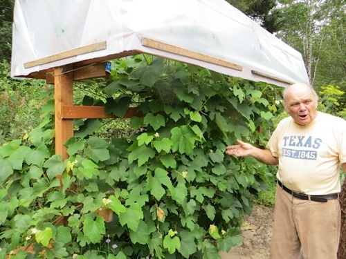 Ray and his grapes, protected from dew.  He says he will remodel the top to be domed.