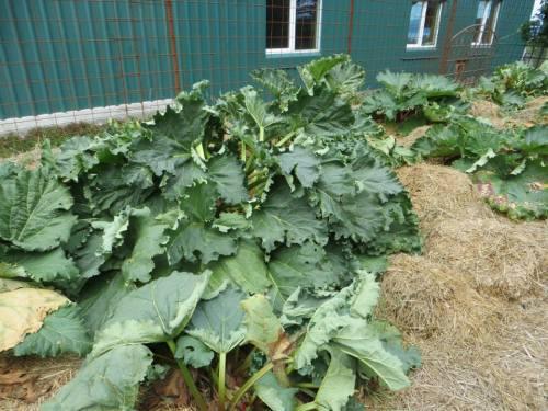 rhubarb in quantity
