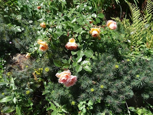 rose draped down the steep wall