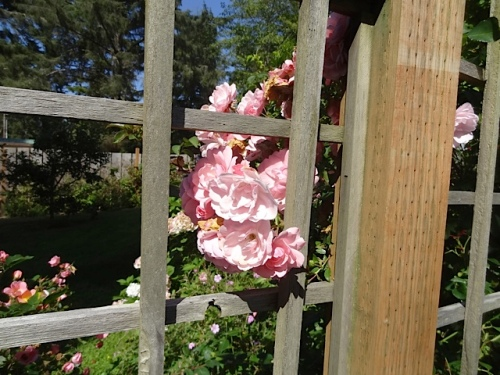 rose peeking through the deer fence