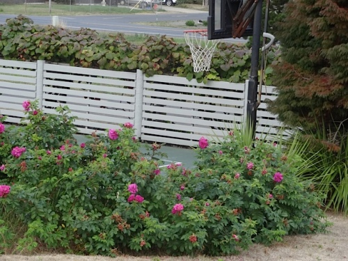 rugosa roses by the sport court