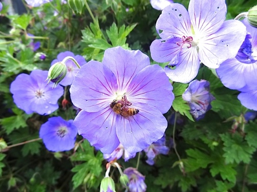 going round and round and round the center of Geranium 'Rozanne'