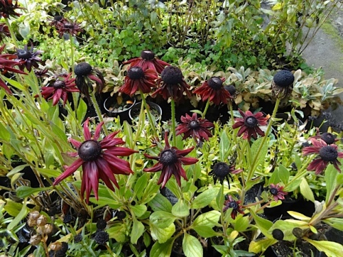 and a dramatically dark Rudbeckia.
