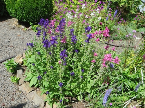 Salvia viridis (painted sage)