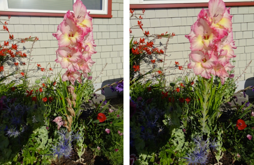 Allan's photos: grooming a gladiolus