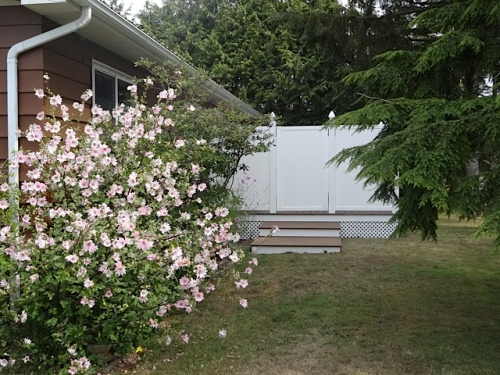 Lavatera 'Barnsley' by the house, with new privacy porch