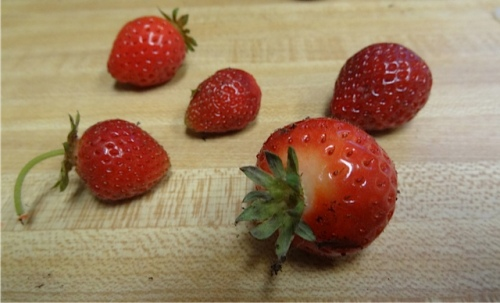 I was surprised to find some late strawberries. Critters had eaten most of them.