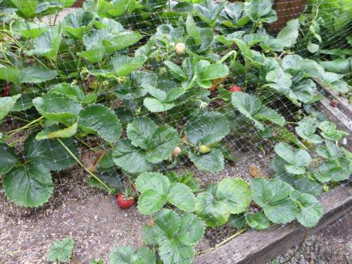 netted strawberries, 7-24