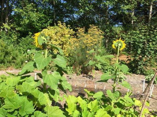 sunflowers, turned away