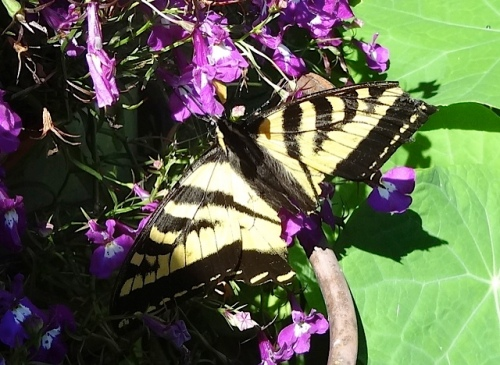 swallowtail butterfly (IDed by Debbie)