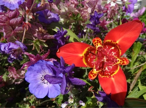Tigridia and Geranium 'Rozanne'
