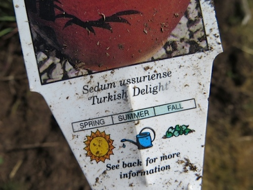 Sedum ussuriense 'Turkish Delight'
