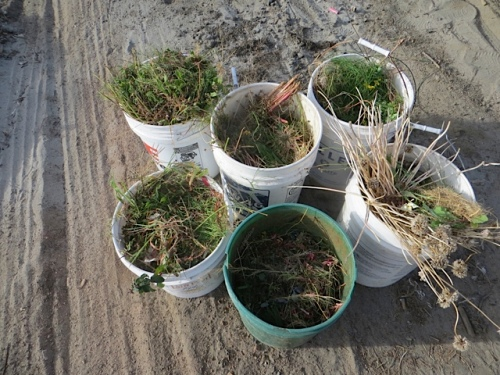 The weeds were not growing much in dry soil. We got this many.