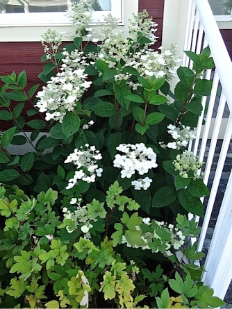 white hydrangea by crisp white railing
