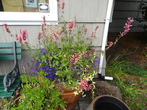 Agastache 'Acapulco Salmon and Pink' has been a great doer. Today is the first time I had to do any serious deadheading on it.