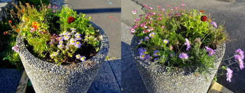The Ilwaco City Hall planters, looking better after their post-storm re-planting.