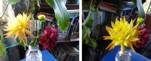 Yesterday, Todd had given us these dahlias with the promise of some tubers for the Golden Sands garden.