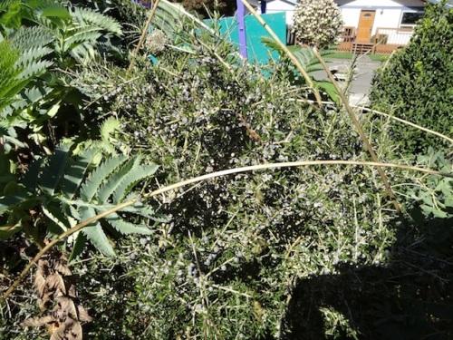 an angular evergreen shrub