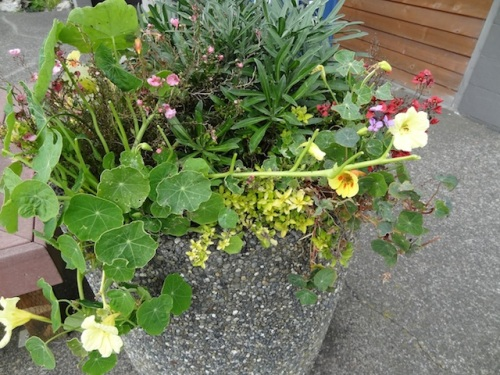 Deer have nibbled the nasturtiums; this bodes ill for our post office garden.