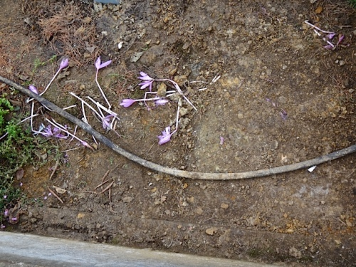 colchicums down