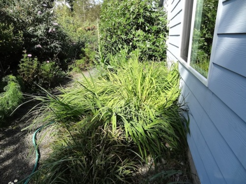 Removing this clump of volunteer montbretia must go on the list of fall projects!