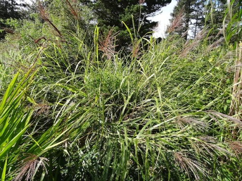 look how the big floppy zebra grass has a tidy clump coming up in the middle.