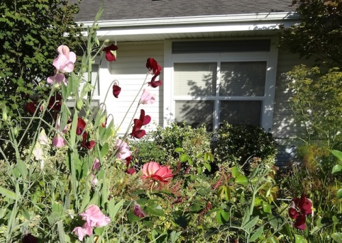 sweet peas and my mom's old window; wish she could see them