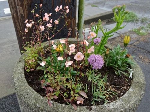 two diasia went into this planter, whose previous assortment of plants all mysteriously died.