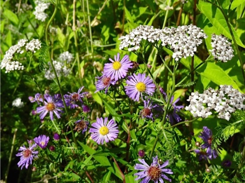aster and white yarrow: two thugs that look good right now.
