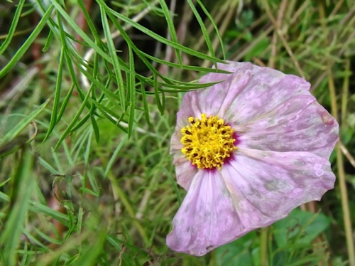 windblown poppy (Allan's photo)