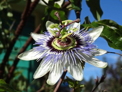 Passiflora in the garden (Allan's photo)